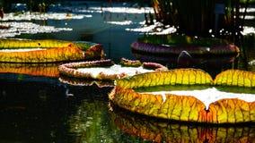 Яркая ая-зелен желтая и апельсин выходят плавать в пруд воды Стоковое Изображение RF