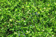 Яркая ая-зелен предпосылка цветков одичалых клубник Стоковая Фотография RF