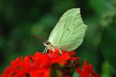 Яркая бабочка сидя на цветках Стоковое Изображение