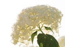 Яркая белая гортензия стоковое изображение