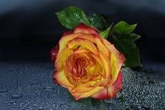 Яркая влажная желт-красная роза с водой падает на темную предпосылку Стоковое Изображение