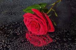Яркая влажная красная роза с водой падает на черную предпосылку Стоковое фото RF
