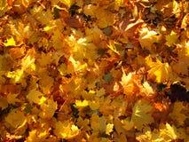 Яркая желтая листва накаляет в лучах солнца осени Стоковые Фотографии RF