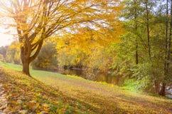Яркая желтая листва осени на лиственном дереве стоковое фото