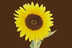 Яркая желтая мандала солнцецвета Стоковое фото RF