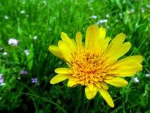 Яркая желтая маргаритка как крупный план полевого цветка в зеленом луге стоковое фото