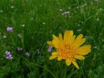 Яркая желтая маргаритка как крупный план полевого цветка в зеленом луге стоковая фотография