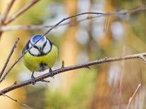 Яркая желт-голубая птица сидит в дереве - евроазиатской голубой синице стоковая фотография