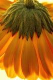 яркая и красивая накаляя маргаритка танцев Стоковая Фотография