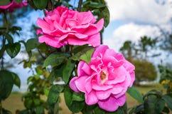 Яркая красивая роза пинка Стоковое Изображение RF