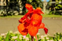 Яркая красная лилия стоковые изображения