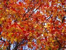 Яркая красная листва против голубого неба Стоковые Фото