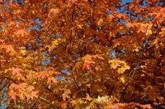 Яркая листва клена осени - городская Минесота стоковое изображение