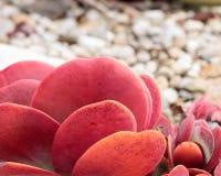 Яркая маджента, оранжевый цвет, розовый конец-вверх одиночного доморощенного succulent блинчика, текстура предпосылки стоковая фотография