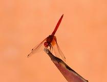 Яркая оранжевая муха дракона Стоковое Фото
