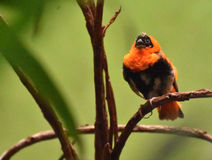 Яркая оранжевая птица епископа сидя на ветви дерева Стоковое фото RF