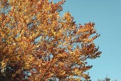 Яркая предпосылка осени с оранжевым деревом листьев стоковые фото