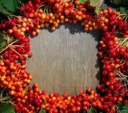 Яркая предпосылка осени с калиной ягод Стоковые Фото