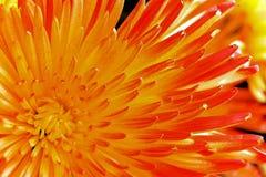 Яркая предпосылка цветка лепестков астры Стоковая Фотография RF