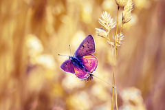Яркая пурпуровая бабочка Стоковое Фото