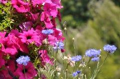 Яркая розовая петунья и голубой cornflower стоковое изображение