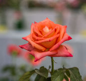Яркая свежего цветка красивая стоковые фотографии rf