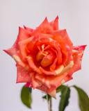 Яркая свежего цветка красивая Стоковое фото RF