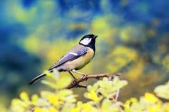 Яркая синица птицы сидя на цветя желтой акации Буше в spr Стоковая Фотография