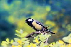 Яркая синица птицы сидя на цветя равенстве Буша акации весной Стоковое фото RF