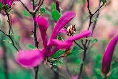 яркая фиолетовая магнолия на ветвях с кольцами стоковые фотографии rf