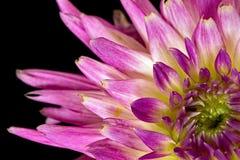 Яркая фиолетовая мама Стоковые Изображения RF