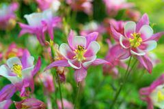Яркая флористическая предпосылка с красивыми розовыми и белыми цветками Aquilegia Стоковое Изображение RF
