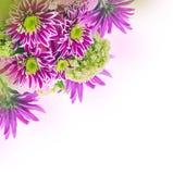 Яркая хризантема весны, флористическая Стоковое фото RF