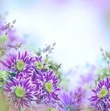 Яркая хризантема весны Стоковая Фотография