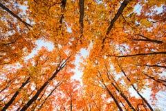 яркая чаща дуба Стоковое Фото