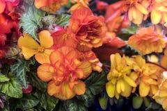 Яркая multicolour предпосылка цветков бегонии стоковое фото
