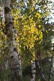 Яркие ветви березы стоковые фото