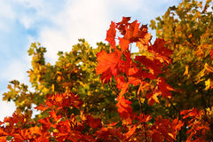 Яркие ветви осени дерева клена Стоковые Фото