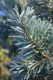 Яркие ветви сосенки стоковое фото rf