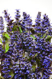 Яркие голубые цветки весны и лета на белой предпосылке Стоковое фото RF