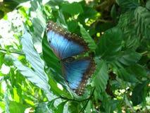 Яркие голубые остатки бабочки Morpho на лист Стоковая Фотография RF