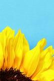 Яркие лепестки солнцецвета закрывают вверх на свете - голубой предпосылке Стоковые Фото