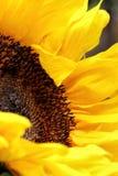 Яркие лепестки солнцецвета закрывают вверх на темной предпосылке Стоковое фото RF