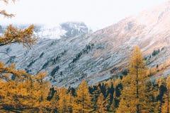 Яркие желтые деревья лиственницы в долине горы стоковое изображение rf