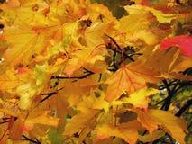 Яркие желтые кленовые листы как украшения осени Стоковая Фотография