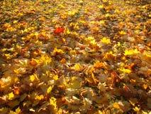 Яркие желтые листья осени накаляют в солнце Стоковые Фото