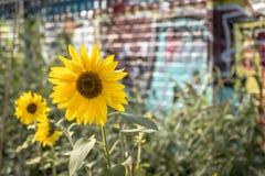 Яркие желтые солнцецветы в песчаных городских условиях стоковое фото rf