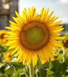 Яркие желтые солнцецветы и солнце стоковое фото