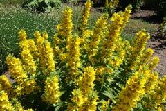 Яркие желтые цветки punctata Lysimachia стоковое фото