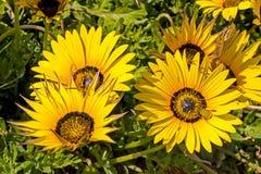 Яркие желтые маргаритки Namaqua с цветнем покрыли жуков Стоковая Фотография